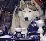 Еskimo dog (husky) and porcelain